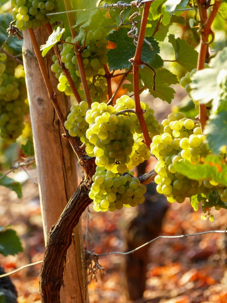 Glera grapes for Prosecco growing on vine